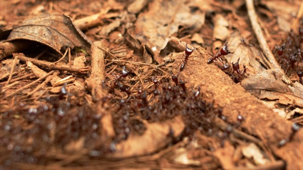 Kenyan Safari Ants